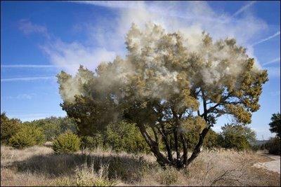 pollen from cedar tree